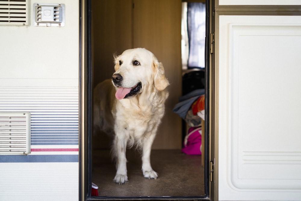 Golden retriever in caravan
